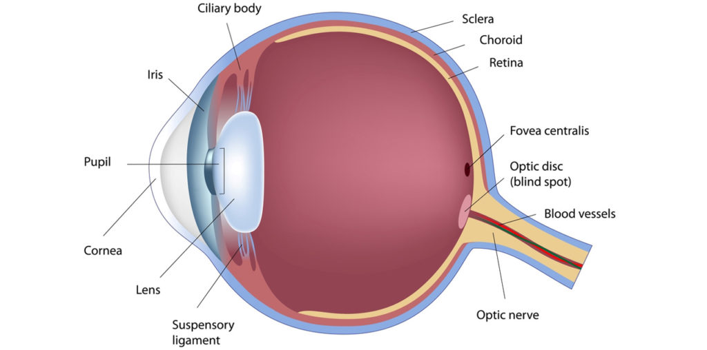 What are the important part of our eyes?