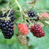 <?php echo Wild Edible Berries; ?>